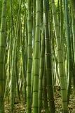 bambuskog arkivbild
