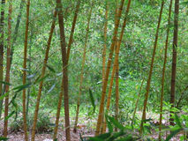 bambuskog fotografering för bildbyråer