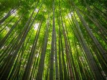 Bambuskog i Arashyama Royaltyfri Foto