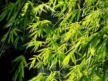 Bambuskog i morgonen royaltyfria foton