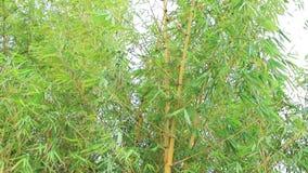 Bambuskog i sommaren arkivfilmer
