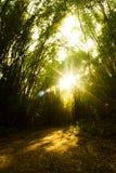 Bambuskog med solnedgång Royaltyfri Bild