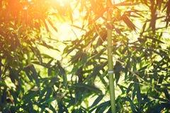 Bambuskog på solnedgången Arkivfoto