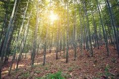Bambuskog på solnedgången Royaltyfria Bilder