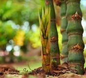 Bambuskott. Arkivbilder
