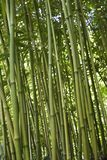 bambusowa leśna zieleń Obraz Stock