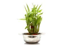 Bambusowa roślina w stalowym garnku Zdjęcie Royalty Free