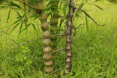Bambusowa roślina Zdjęcia Royalty Free