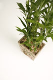 bambusowa roślinnych Zdjęcie Royalty Free