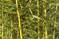 Bambusowe płochy Fotografia Royalty Free
