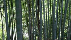 Bambusowego krótkopędu lub bambusa las kiełkowy i bambusowy zbiory