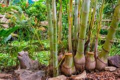 Bambusowi bagażniki gigantycznego bambusa specie, popularne tropikalne rośliny i drzewa dla ogródu, obrazy royalty free