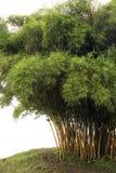 bambusowi drzewa Obrazy Royalty Free