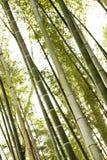 bambusowi drzewa leśne Fotografia Royalty Free