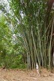 Bambusowi giganty, Peradeniya, Sri Lanka Zdjęcia Stock