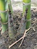 Bambusowi krótkopędy lub bambus flance Obraz Stock