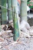Bambusowi krótkopędy lub bambus flance Zdjęcia Stock
