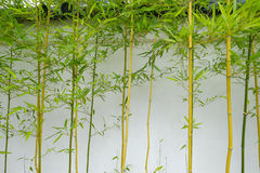 Bambusowi krótkopędy r przeciw outside ścianie Japońska herbata Zdjęcia Royalty Free