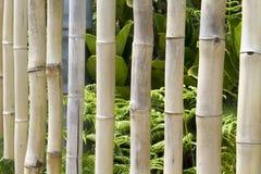 Bambusowi kuranty obrazy royalty free