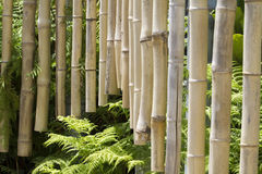 Bambusowi kuranty obraz stock
