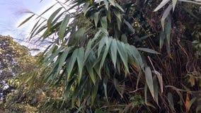 Bambusowi liści wizerunki obrazy stock