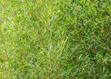 Bambusowi liście zamykają up w jaskrawym słońcu Zdjęcie Stock