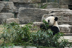 bambusowy łasowanie opuszczać pandy fotografia royalty free