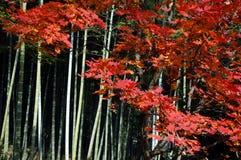 Bambusowy czerwony klon zdjęcia royalty free