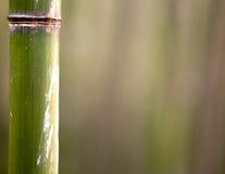 Bambusowy drzewny bagażnik Zdjęcie Royalty Free