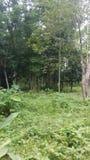 Bambusowy drzewny las Obrazy Stock