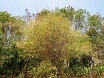 Bambusowy drzewo Obraz Royalty Free