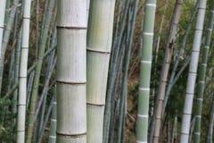 Bambusowy drzewo obraz stock