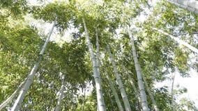 Bambusowy drzewo 4K zbiory wideo