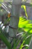 Bambusowy drzewo, Tajlandia Zdjęcie Stock