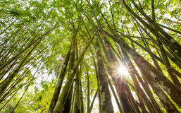 Bambusowy drzewo VI Obraz Stock