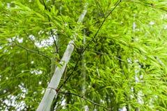 Bambusowy gaj, bambusowy las Fotografia Stock