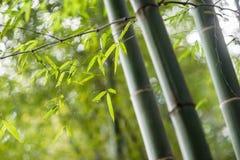 Bambusowy gaj, bambusowy las Zdjęcia Stock