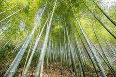 Bambusowy gaj, bambusowy las Obraz Royalty Free