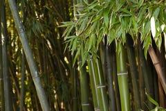 Bambusowy gaj natury t?o obraz royalty free
