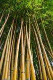 Bambusowy gaj w ogródzie willa Carlotta, Jeziorny Como, Włochy Fotografia Royalty Free