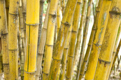 bambusowy kolor żółty Zdjęcie Royalty Free