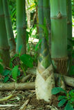 Bambusowy krótkopęd, bambus flanca fotografia stock