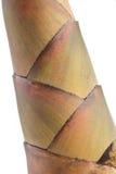 Bambusowy krótkopęd, bambus flanca Zdjęcie Stock