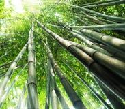 bambusowy las Obraz Stock