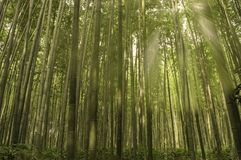 Bambusowy las na ranku Fotografia Royalty Free