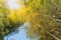Bambusowy las, Bambusowy tło w świetle słonecznym i niebieskie niebo, Zdjęcia Royalty Free