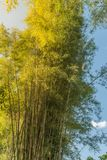 Bambusowy las, Bambusowy tło w świetle słonecznym i niebieskie niebo, Obraz Royalty Free
