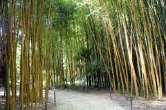 Bambusowy las w Anduze bambusa plantaci Fotografia Royalty Free