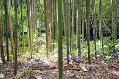 Bambusowy las w Anduze bambusa plantaci Fotografia Stock