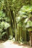 Bambusowy las w Anduze bambusa plantaci Zdjęcia Royalty Free
